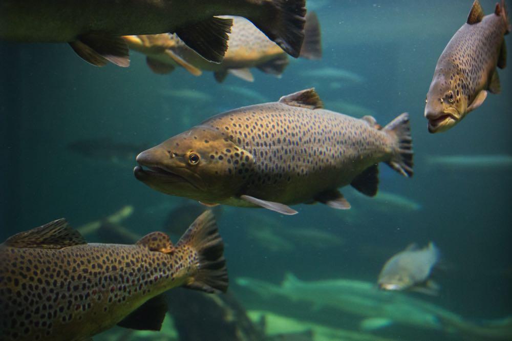Atlantic Salmon Fly Fishing Species
