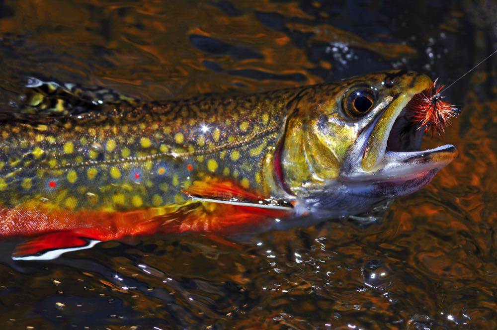 Brook Trout on a Fly