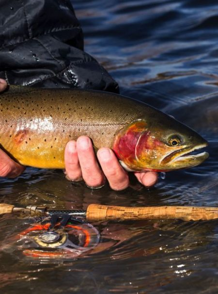 Cutthroat Trout on a Fly Fishing Rod being released