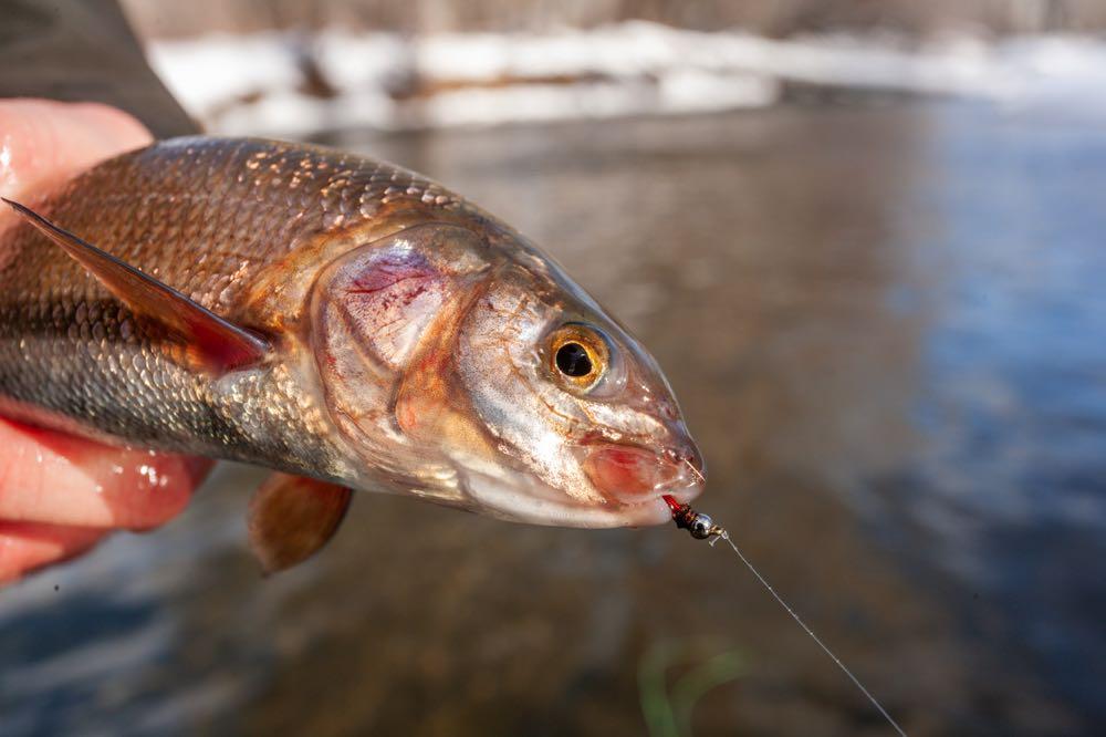 Mountain Whitefish Caught Fly Fishing in Montana