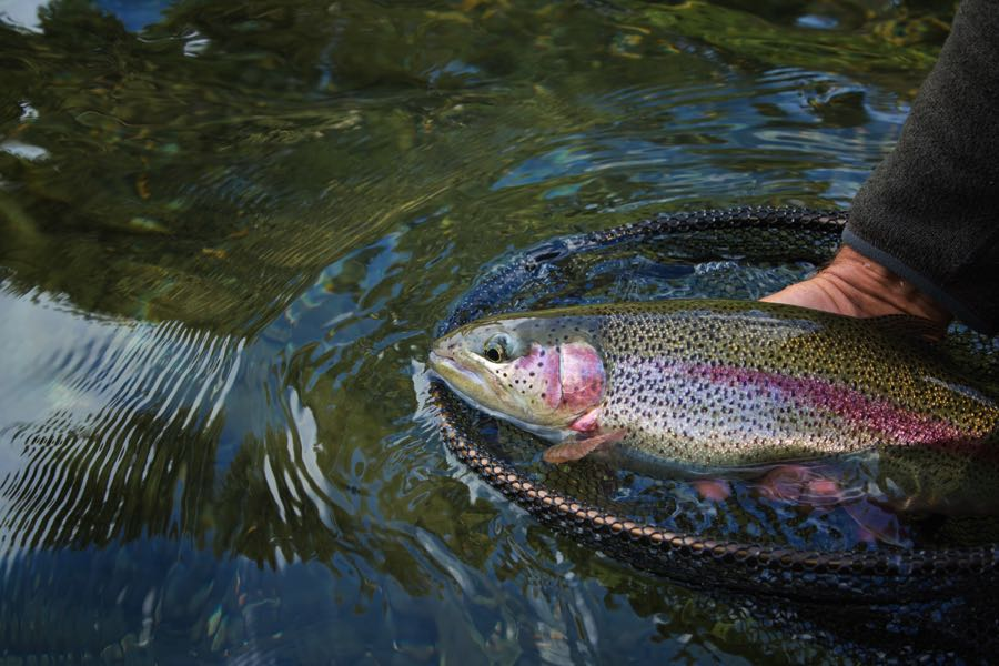Rainbow Trout on the fly in a net on the river