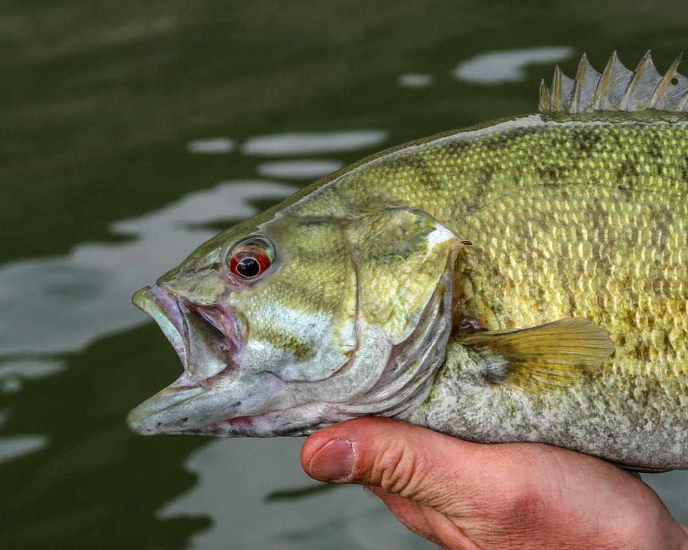 Smallmouth Bass Mouth Closeup Vertical