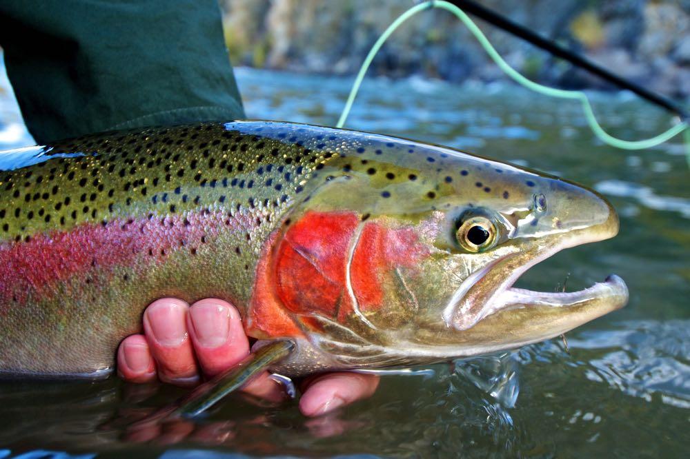 Steelhead Caught Fly Fishing in Canada