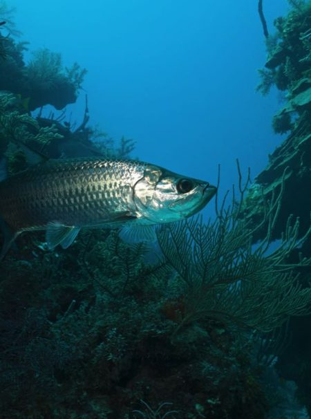Tarpon Fly Fishing Species Saltwater