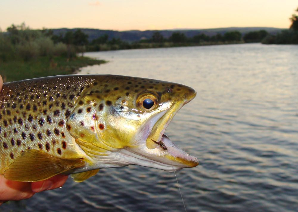 fly fishing Beautiful Brown Trout