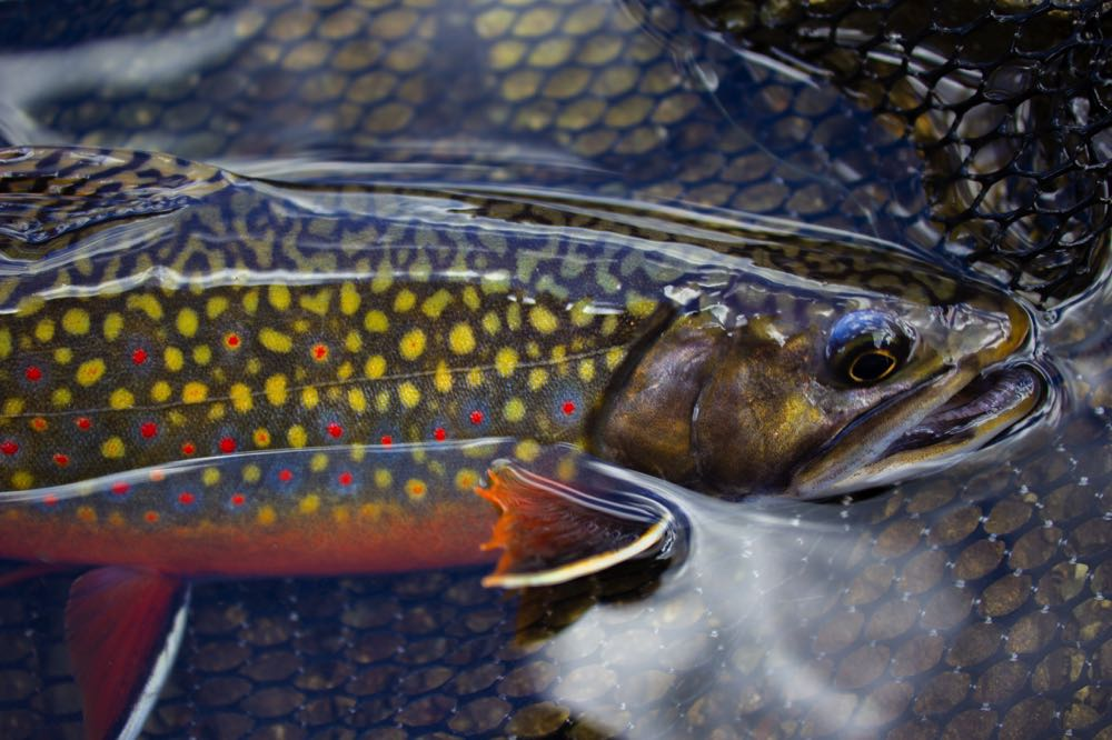 Brook Trout Fly Fishing Oregon