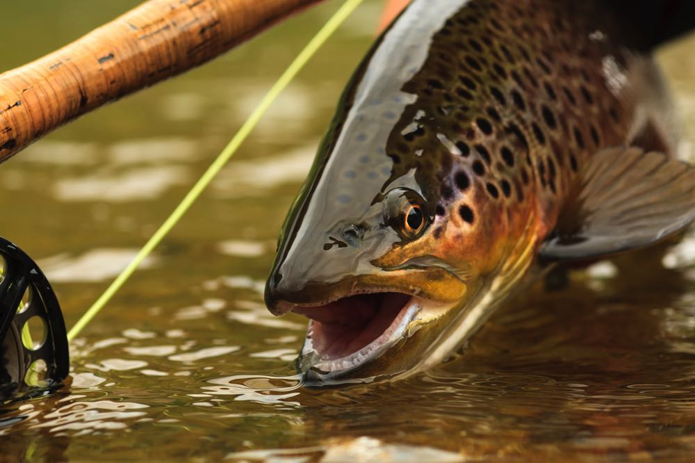 Trout Species Fly Fishing in Canada
