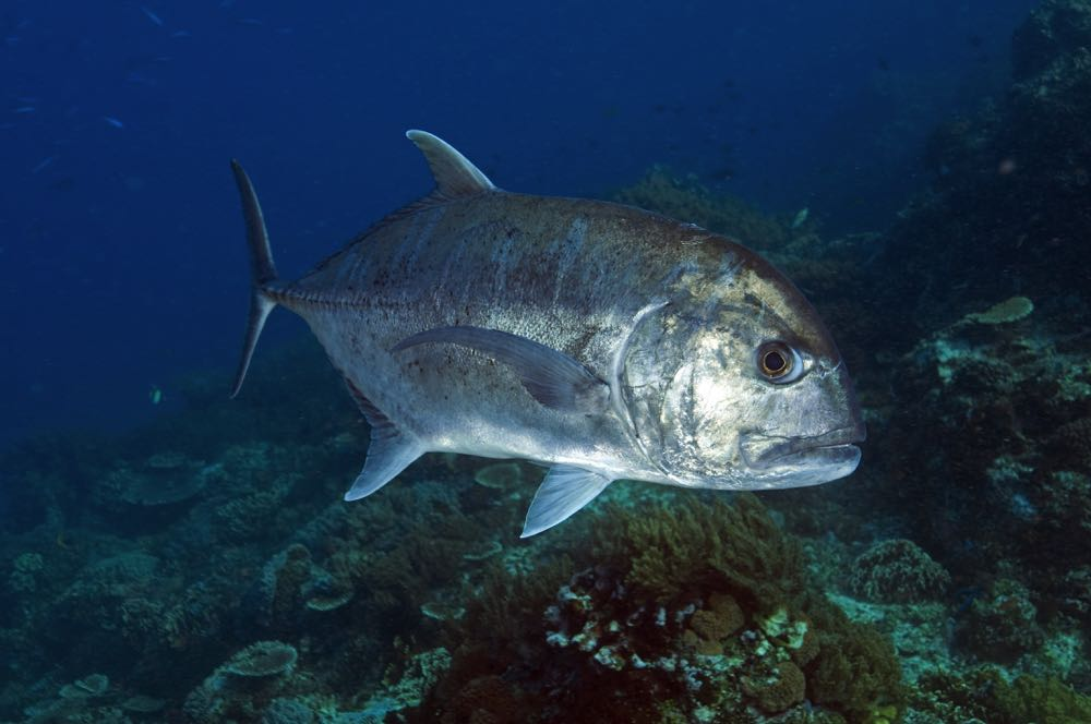 Giant Trevally Fly Fishing Species