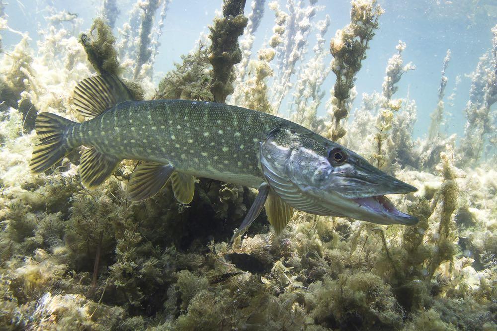 Muskie muskelunge pike fish underwater