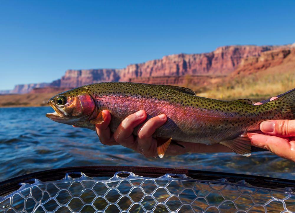 Rainbow Trout Fishing Season