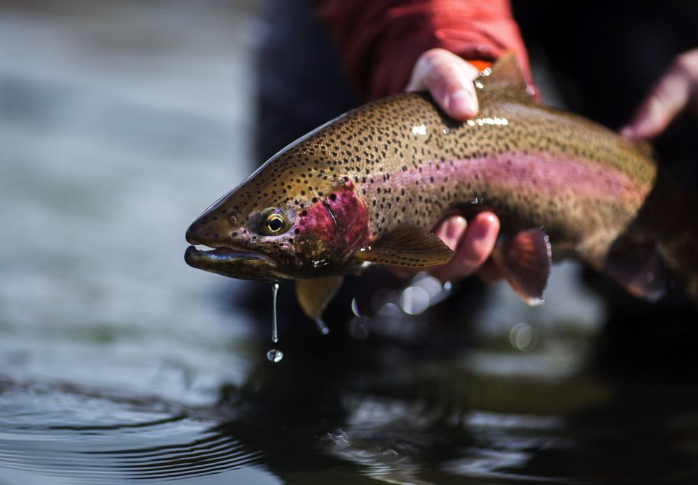 Rainbow Trout Species for Fly Fishing