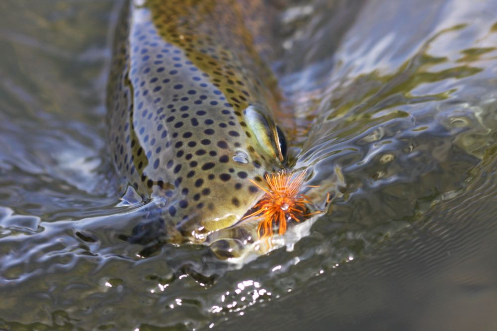 Rainbow Trout Species on the fly biting hook