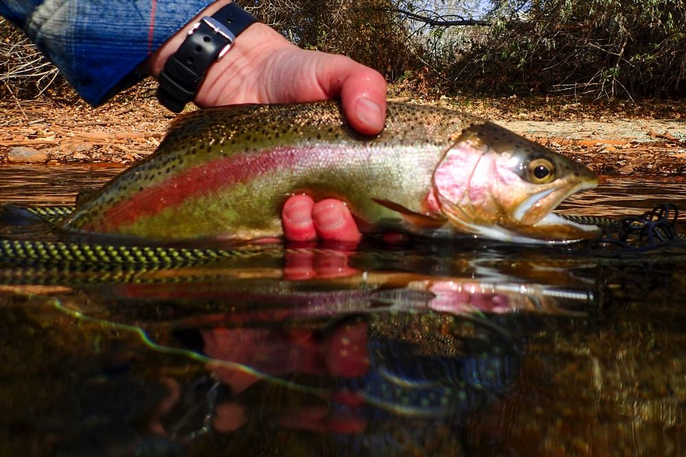 Fly Fishing in Oregon for Redband Rainbows