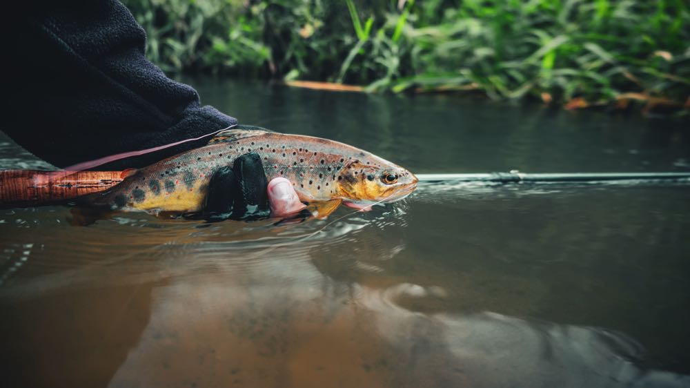 Releasing a Beautiful Trout after catching it on a fly rod in Wyoming