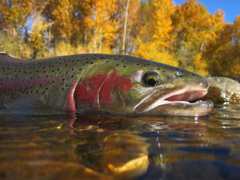 Steelhead Fly Fishing Fish Species