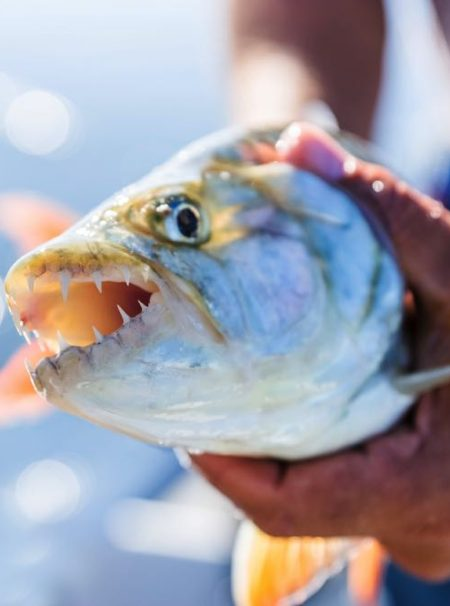 Tigerfish Fly Fishing Species