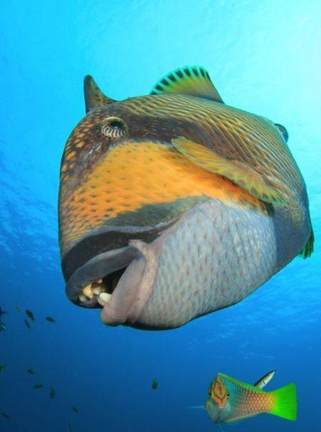 Titan Triggerfish Species