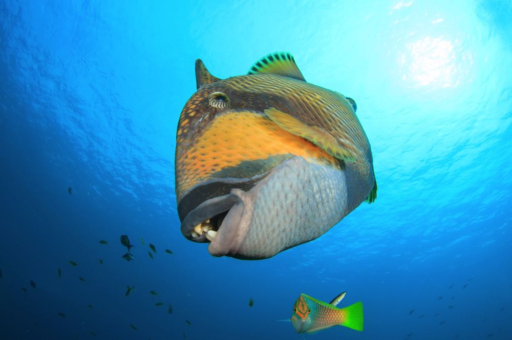 Titan Triggerfish Species
