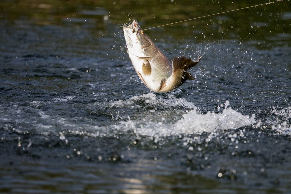 Bass eating a dry fly Jumping Out Of Water