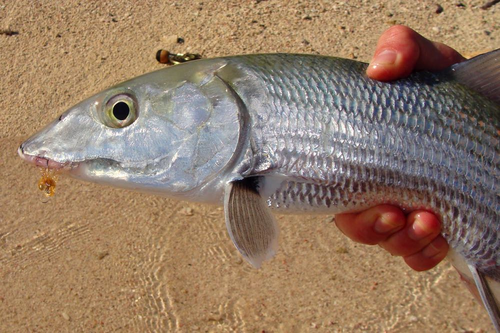 Bonefish Caught on Crazy Charlie Fly