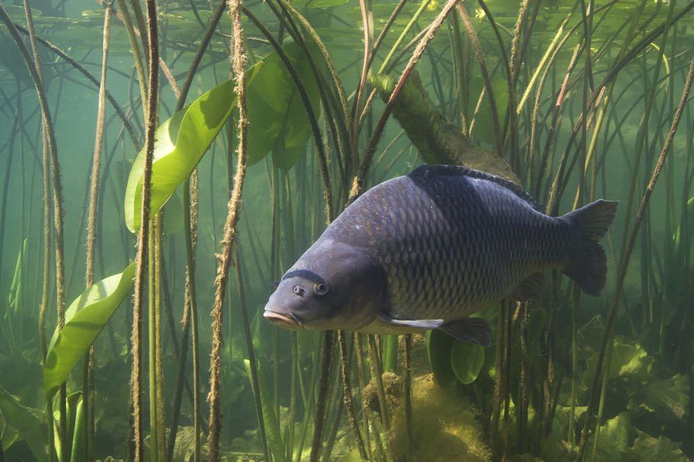 Carp Fly Fishing Species