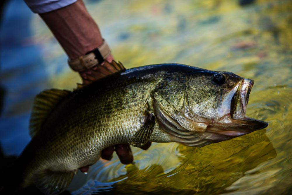 Catch and Release Largemouth Bass Fly Fishing