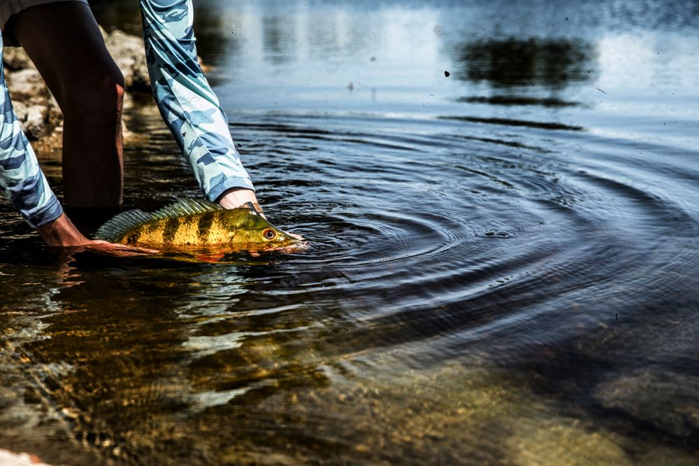 Releasing a Peacock Bass in Florida