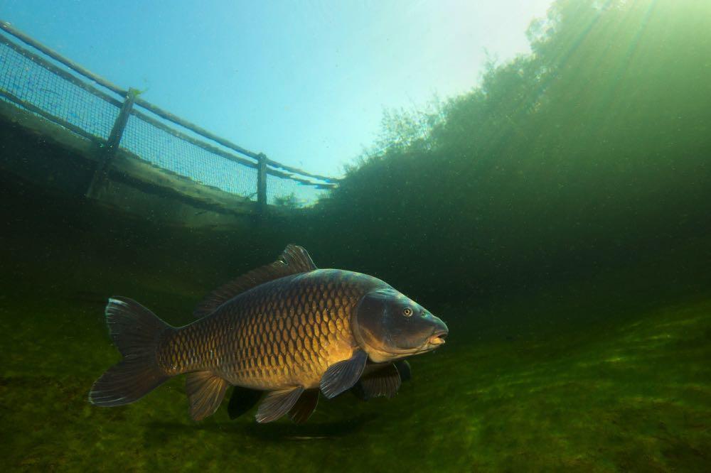 carp fishing bottom of river underwater