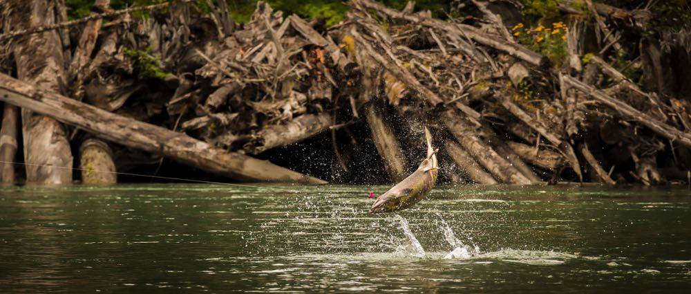 salmon jumping caught on Best flies for salmon fishing