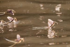 Mayflies Emerging From The Water Surface