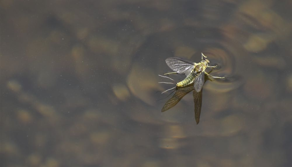 dry flies imitate mayflies and other insects on the surface