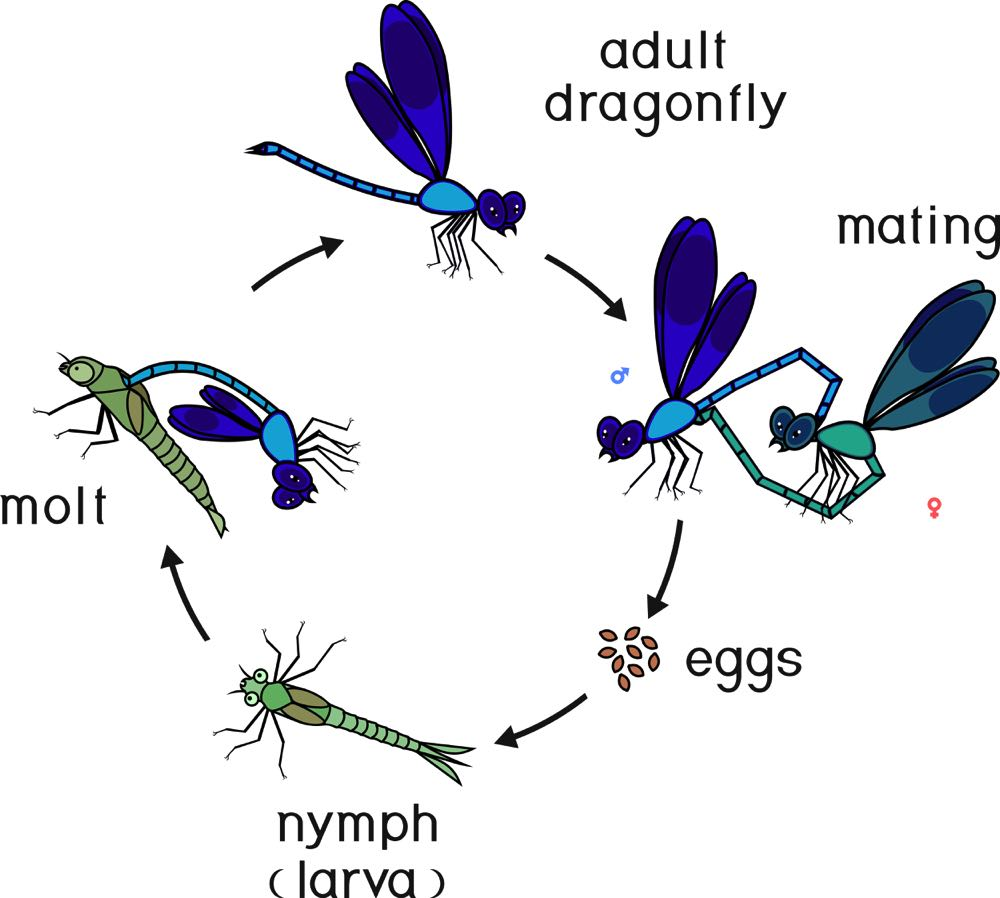 life cycle of a dragon fly diagram