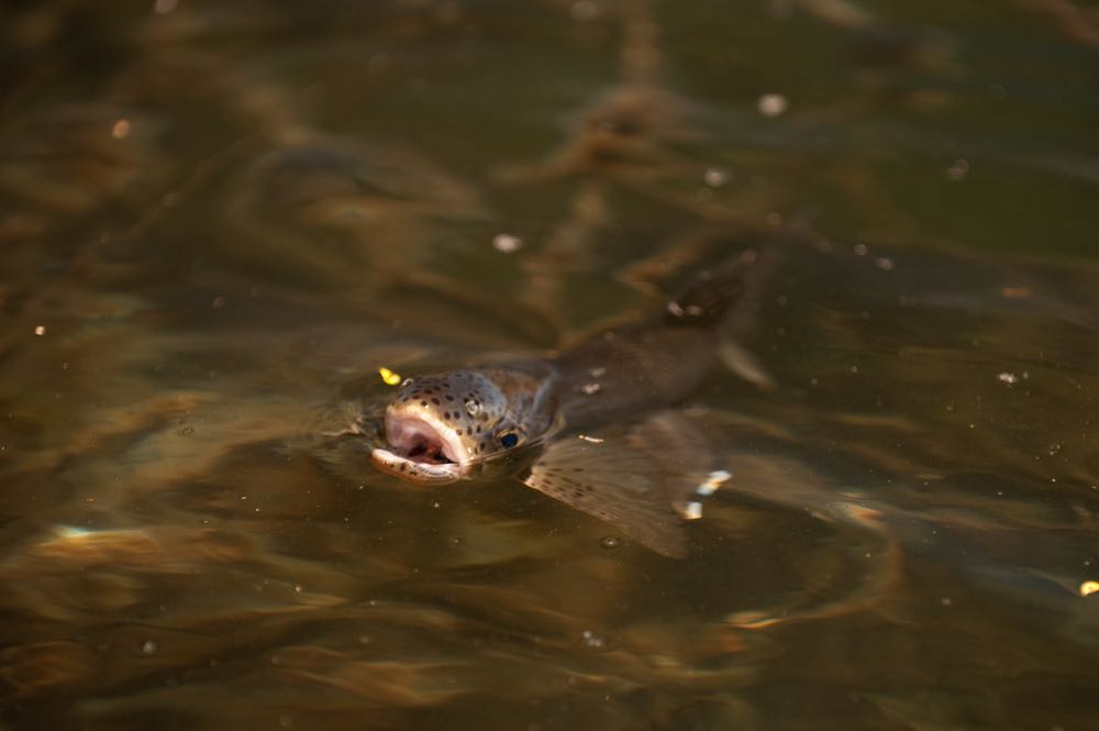 trout feeding on the surface
