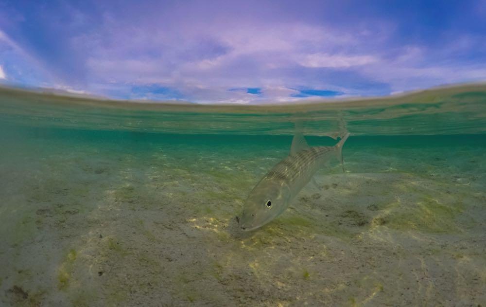 Bonefish Fish Species