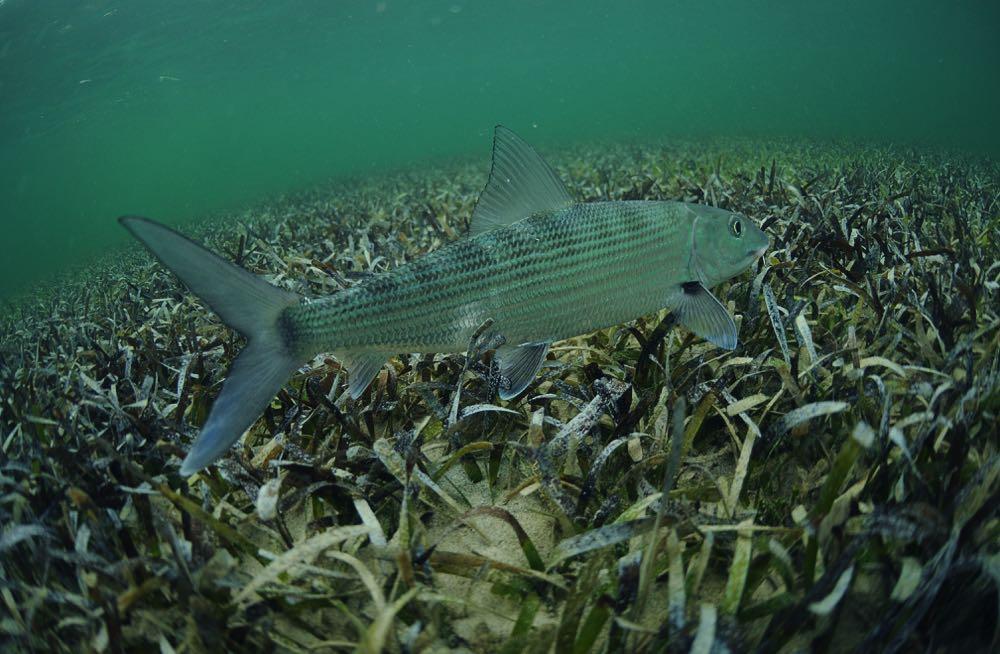Bonefish Species Habitat