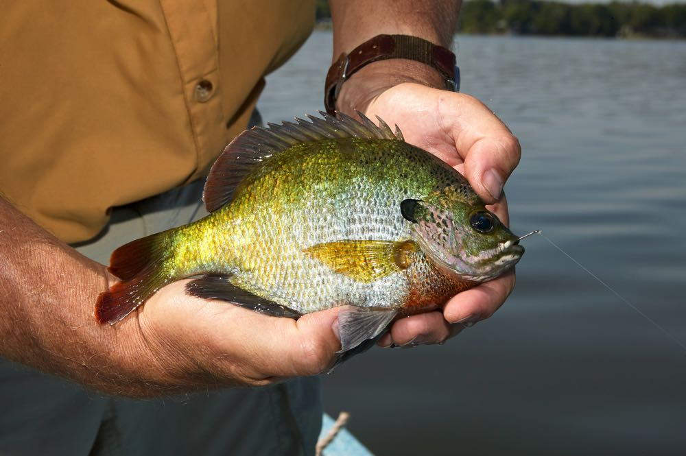 using a panfish fly to catch fish
