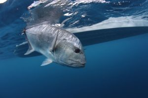 fly fishing for giant trevally - featured image