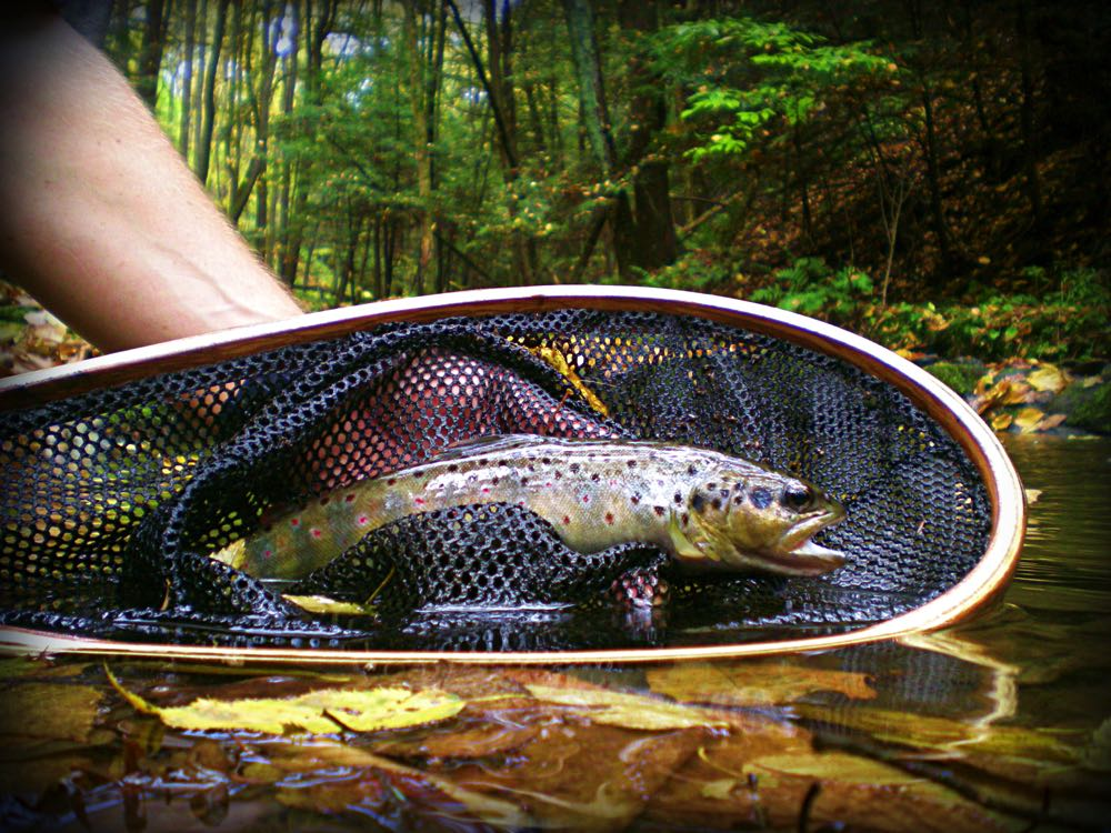 Brown Trout in a net caught Euro Nymphing