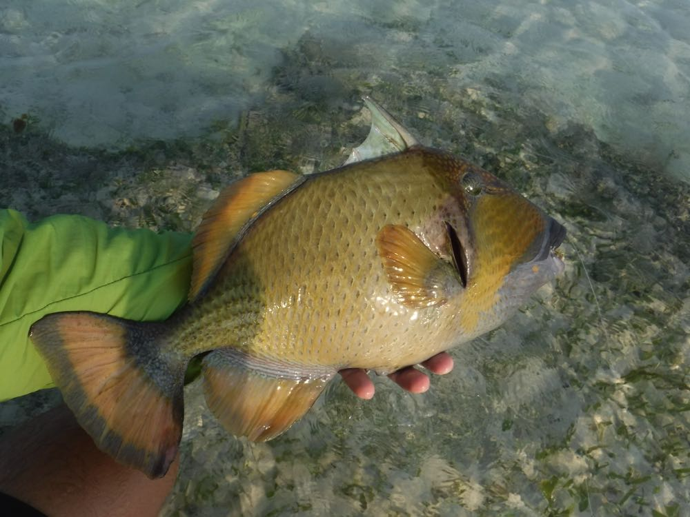 Holding a Triggerfish and releasing it