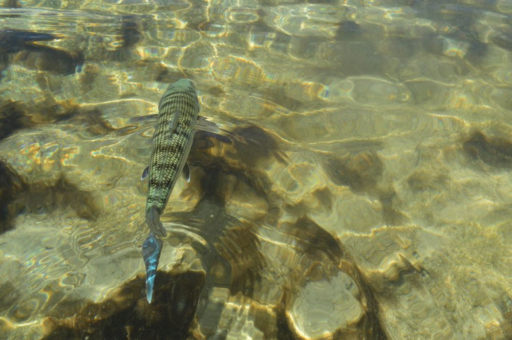 A bonefish swimming with his back out of the water