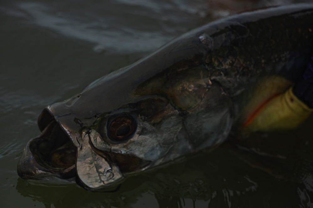 Tarpon caught Fly Fishing in Costa_Rica_Low_Res-73