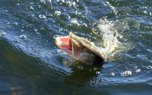 A huge catch of a pike fish