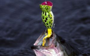 the fish was caught using a popper