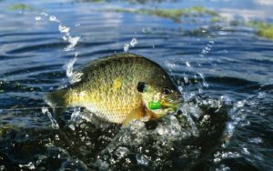 A huge catch of a bluegill