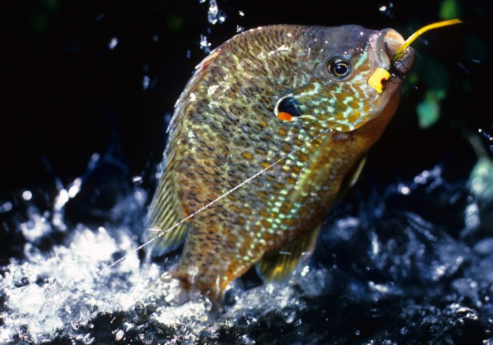 Fly fishing ants for sunfish.