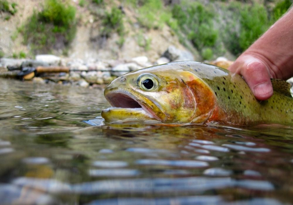 Wild westslope cutthroat trout caught in Montana.