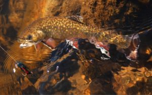 A brook trout underwater