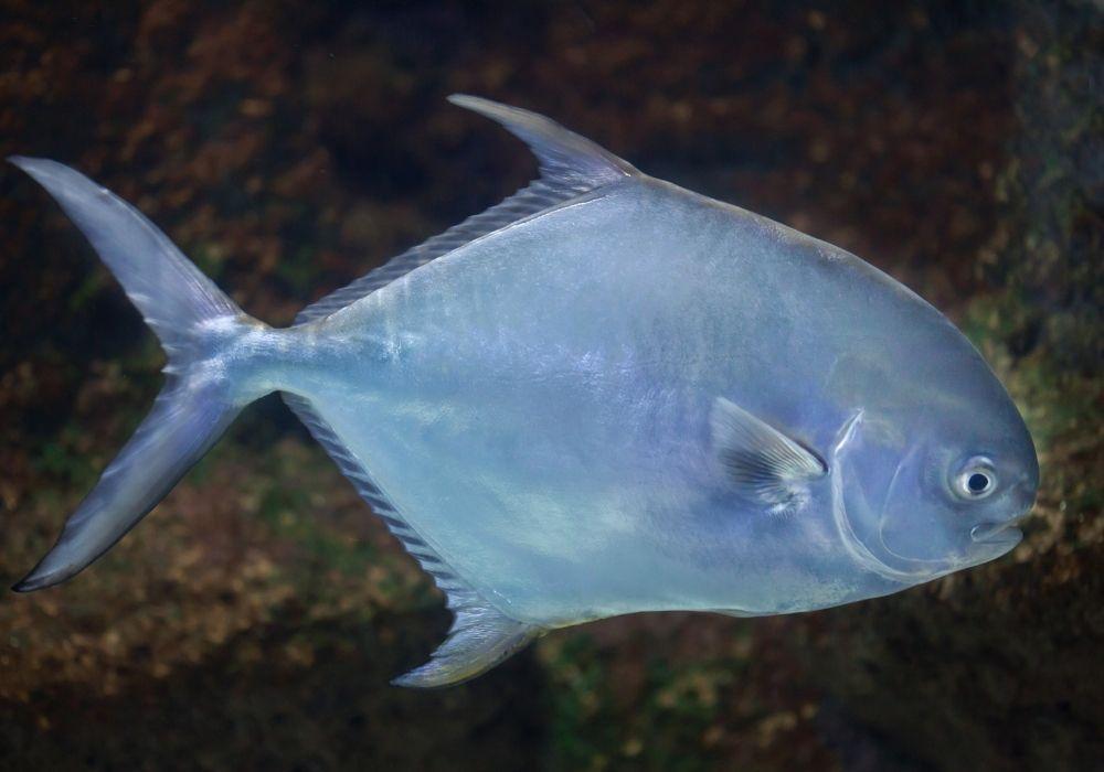 A close up of a permit fish