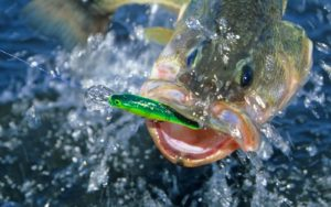 A huge catch of a Largemouth bass on fly fishing using a largemouth bass fly