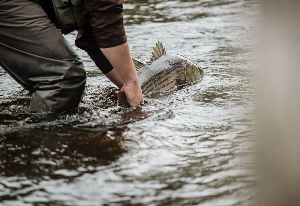 A huge catch of striped bass